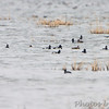 Ring-necked Ducks <br /> Horseshoe Lake Illinois