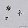 Lesser Scaup  <br /> Horseshoe Lake Illinois