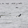 Scaup sp.<br /> Horseshoe Lake Illinois