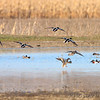 Northern Shoveler, Gadwall and Blue-winged Teal <br /> Columbia Bottom Conservation Area