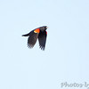 Red-winged Blackbird <br /> Columbia Bottom Conservation Area