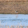 Black-necked Stilt <br /> Hwy H and 94 St. Charles County