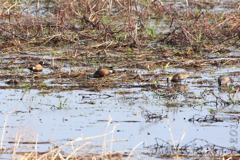 Blue-winged Teal <br /> Hwy H and 94 St. Charles County