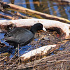 American Coot <br /> Riverlands Migratory Bird Sanctuary