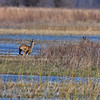 Whitetail Deer  <br /> Columbia Bottom Conservation Area