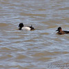 Scaup sp <br /> Riverlands Migratory Bird Sanctuary