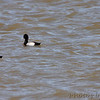 Scaup sp. <br /> Riverlands Migratory Bird Sanctuary