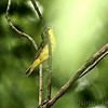 Kentucky Warbler <br /> Lost Valley Trail <br /> Weldon Spring Conservation Area
