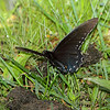 Pipevine Swallowtail <br /> Lost Valley Trail <br /> Weldon Spring Conservation Area
