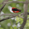 Scarlet Tanager <br /> Lost Valley Trail <br /> Weldon Spring Conservation Area