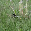 """Bobolink <br> Wise Road <br> Riverlands Migratory Bird Sanctuary <br>5/02/2010<br><span class=""""noShowSmart""""> <a href=""""/MyKeywords/Bird-Videos/n-gF9bt/i-7HV6gmf/A""""> <span style=""""color:yellow"""">Click here to open video in lightbox/full screen</span></a> </span>  <span class=""""noShowGallery""""> <a href=""""/Birds/Birding-2010-May/2010-05-02-RMBS/i-7HV6gmf/A""""> <span style=""""color:yellow"""">Click here to open video in lightbox/full screen</span></a> </span>"""