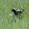 Bobolink <br /> Wise Road <br /> Riverlands Migratory Bird Sanctuary