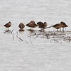 """Long-billed Dowitchers <br> Ellis Bay <br> Riverlands Migratory Bird Sanctuary  <br>5/02/10<br><span class=""""noShowSmart""""> <a href=""""/MyKeywords/Bird-Videos/n-gF9bt/i-QdSHCDF/A""""> <span style=""""color:yellow"""">Click here to open video in lightbox/full screen</span></a> </span>  <span class=""""noShowGallery""""> <a href=""""/Birds/Birding-2010-May/2010-05-02-RMBS/i-QdSHCDF/A""""> <span style=""""color:yellow"""">Click here to open video in lightbox/full screen</span></a> </span>"""