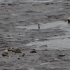 """Spotted Sandpiper <br> Ellis Bay <br> Riverlands Migratory Bird Sanctuary <br>5/02/2010<br><span class=""""noShowSmart""""> <a href=""""/MyKeywords/Bird-Videos/n-gF9bt/i-RrZkMc9/A""""> <span style=""""color:yellow"""">Click here to open video in lightbox/full screen</span></a> </span>  <span class=""""noShowGallery""""> <a href=""""/Birds/Birding-2010-May/2010-05-02-RMBS/i-RrZkMc9/A""""> <span style=""""color:yellow"""">Click here to open video in lightbox/full screen</span></a> </span>"""