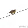 Eastern Meadowlark <br /> Wise Road <br /> Riverlands Migratory Bird Sanctuary