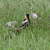 """Bobolink <br> Wise Road <br> Riverlands Migratory Bird Sanctuary <br>5/02/2010<br><span class=""""noShowSmart""""> <a href=""""/MyKeywords/Bird-Videos/n-gF9bt/i-gx4Hchj/A""""> <span style=""""color:yellow"""">Click here to open video in lightbox/full screen</span></a> </span>  <span class=""""noShowGallery""""> <a href=""""/Birds/Birding-2010-May/2010-05-02-RMBS/i-gx4Hchj/A""""> <span style=""""color:yellow"""">Click here to open video in lightbox/full screen</span></a> </span>"""