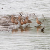 Long-billed Dowitchers <br /> Ellis Bay <br /> Riverlands Migratory Bird Sanctuary