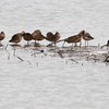 """Long-billed Dowitchers <br> Ellis Bay <br> Riverlands Migratory Bird Sanctuary  <br>2010-05-02<br><span class=""""noShowSmart""""> <a href=""""/MyKeywords/Bird-Videos/n-gF9bt/i-xHDLDsV/A""""> <span style=""""color:yellow"""">Click here to open video in lightbox/full screen</span></a> </span>  <span class=""""noShowGallery""""> <a href=""""/Birds/Birding-2010-May/2010-05-02-RMBS/i-xHDLDsV/A""""> <span style=""""color:yellow"""">Click here to open video in lightbox/full screen</span></a> </span>"""