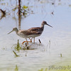 Greater Yellowlegs <br /> Dalbow Road St. Charles County