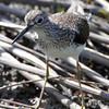 Solitary Sandpiper <br /> Dalbow Road St. Charles County