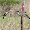 Eastern Kingbirds <br /> Dalbow Road St. Charles County