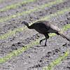 Eastern Wild Turkey <br /> Along Hwy B <br /> St. Charles County
