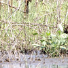 """Glossy Ibis and Pectoral Sandpiper <br> Columbia Bottom Conservation Area <br><br><span class=""""noShowSmart""""> <a href=""""/MyKeywords/Bird-Videos/n-gF9bt/i-BrBG2mX/A""""> <span style=""""color:yellow"""">Click here to open video in lightbox/full screen</span></a> </span>  <span class=""""noShowGallery""""> <a href=""""/Birds/Birding-2010-May/2010-05-05-Columbia-Bottom-CA/i-BrBG2mX/A""""> <span style=""""color:yellow"""">Click here to open video in lightbox/full screen</span></a> </span>"""