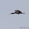 Glossy Ibis <br /> Columbia Bottom Conservation Area