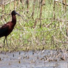 """Glossy Ibis and Pectoral Sandpiper <br> Columbia Bottom Conservation Area <br><br><span class=""""noShowSmart""""> <a href=""""/MyKeywords/Bird-Videos/n-gF9bt/i-TVCtRdf/A""""> <span style=""""color:yellow"""">Click here to open video in lightbox/full screen</span></a> </span>  <span class=""""noShowGallery""""> <a href=""""/Birds/Birding-2010-May/2010-05-05-Columbia-Bottom-CA/i-TVCtRdf/A""""> <span style=""""color:yellow"""">Click here to open video in lightbox/full screen</span></a> </span>"""