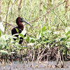 """Glossy Ibis <br> Columbia Bottom Conservation Area   <br><br><span class=""""noShowSmart""""> <a href=""""/MyKeywords/Bird-Videos/n-gF9bt/i-fFC8BNX/A""""> <span style=""""color:yellow"""">Click here to open video in lightbox/full screen</span></a> </span>  <span class=""""noShowGallery""""> <a href=""""/Birds/Birding-2010-May/2010-05-05-Columbia-Bottom-CA/i-fFC8BNX/A""""> <span style=""""color:yellow"""">Click here to open video in lightbox/full screen</span></a> </span>"""
