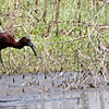 """Glossy Ibis eating crayfish <br> with Pectoral Sandpiper watching <br> Columbia Bottom Conservation Area <center> <span class=""""noShowSmart""""> <a href=""""/MyKeywords/Bird-Videos/n-gF9bt/i-sJ98x3R/A""""> <span style=""""color:yellow"""">Click here to open video in lightbox/full screen</span></a> </span>  <span class=""""noShowGallery""""> <a href=""""/Birds/Birding-2010-May/2010-05-05-Columbia-Bottom-CA/i-sJ98x3R/A""""> <span style=""""color:yellow"""">Click here to open video in lightbox/full screen</span></a> </span><br> </center>"""