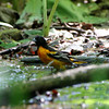 """Baltimore Oriole <br> Tower Grove Park <br> St. Louis Mo. <br><br><span class=""""noShowSmart""""> <a href=""""/MyKeywords/Bird-Videos/n-gF9bt/i-V3SXPs8/A""""> <span style=""""color:yellow"""">Click here to open video in lightbox/full screen</span></a> </span>  <span class=""""noShowGallery""""> <a href=""""/Birds/Birding-2010-May/2010-05-06-Tower-Grove-Park/i-V3SXPs8/A""""> <span style=""""color:yellow"""">Click here to open video in lightbox/full screen</span></a> </span>"""