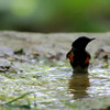 """American Redstart  <br> Tower Grove Park  <br> St. Louis Mo.  <br><br><span class=""""noShowSmart""""> <a href=""""/MyKeywords/Bird-Videos/n-gF9bt/i-VnbSsGd/A""""> <span style=""""color:yellow"""">Click here to open video in lightbox/full screen</span></a> </span>  <span class=""""noShowGallery""""> <a href=""""/Birds/Birding-2010-May/2010-05-06-Tower-Grove-Park/i-VnbSsGd/A""""> <span style=""""color:yellow"""">Click here to open video in lightbox/full screen</span></a> </span>"""