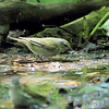 Tennessee Warbler <br /> Tower Grove Park <br /> St. Louis Mo.