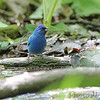 Indigo Bunting <br /> Tower Grove Park <br /> St. Louis Mo.