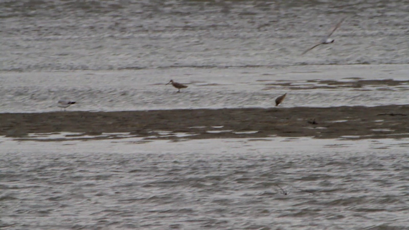 """Marbled Godwits <br> Ellis Bay <br> Riverlands Migratory Bird Sanctuary <br> Over 500 yards away in a 25-30 mph buffering wind <br><br><span class=""""noShowSmart""""> <a href=""""/MyKeywords/Bird-Videos/n-gF9bt/i-59VL5wG/A""""> <span style=""""color:yellow"""">Click here to open video in lightbox/full screen</span></a> </span>  <span class=""""noShowGallery""""> <a href=""""/Birds/Birding-2010-May/2010-05-07-RMBS/i-59VL5wG/A""""> <span style=""""color:yellow"""">Click here to open video in lightbox/full screen</span></a> </span>"""