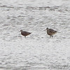 Marbled Godwits <br /> Ellis Bay<br /> Riverlands Migratory Bird Sanctuary<br /> Over 500 yards away in a 25-30 mph buffering wind