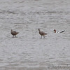 Marbled Godwits and American Avocet <br /> Ellis Bay<br /> Riverlands Migratory Bird Sanctuary<br /> Over 500 yards away in a 25-30 mph buffering wind