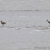 Marbled Godwits<br /> Ellis Bay<br /> Riverlands Migratory Bird Sanctuary<br /> Over 500 yards away in a 25-30 mph buffering wind
