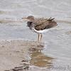 Spotted Sandpiper <br /> Ellis Bay <br /> Riverlands Migratory Bird Sanctuary