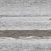 Marbled Godwit and American Avocet <br /> Ellis Bay<br /> Riverlands Migratory Bird Sanctuary<br /> Over 500 yards away in a 25-30 mph buffering wind <br /> 2010-05-07<br /> <br /> No. 282 on my Lifetime List of Bird Species <br /> Photographed in Missouri