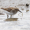 Least Sandpiper <br /> Confluence Road <br /> Riverlands Migratory Bird Sanctuary