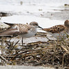 Baird's and Least Sandpipers <br /> Confluence Road <br /> Riverlands Migratory Bird Sanctuary