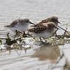 Least Sandpipers <br /> Confluence Road <br /> Riverlands Migratory Bird Sanctuary