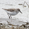 Semipalmated Sandpiper <br /> Confluence Road <br /> Riverlands Migratory Bird Sanctuary