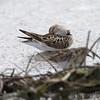 Baird's Sandpiper <br /> Confluence Road <br /> Riverlands Migratory Bird Sanctuary