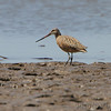Marbled Godwit <br /> The U.S. Army Corps of Engineer <br /> Lincoln Shields Recreation Area <br /> West Alton Missouri