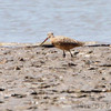 Marbled Godwit and Least Sandpiper <br /> The U.S. Army Corps of Engineer <br /> Lincoln Shields Recreation Area <br /> West Alton Missouri