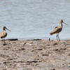 Marbled Godwits <br /> The U.S. Army Corps of Engineer <br /> Lincoln Shields Recreation Area <br /> West Alton Missouri