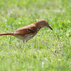 Brown Thrasher <br /> Tower Grove Park <br /> St. Louis Mo.